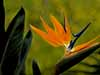 Bird of Paradise, with Palm Frond